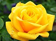 美丽的黄色玫瑰花图片素材