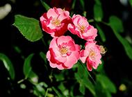 观赏植物美艳动人的野蔷薇图片