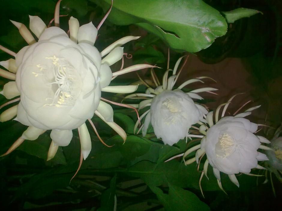 曇花植物盆景高清圖片