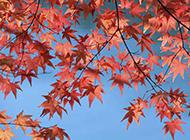 浪漫秋天红色枫叶图片素材