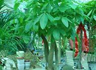 發財樹綠色護眼辯子圖片
