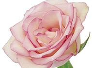 粉色香槟玫瑰图片高清特写