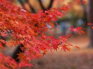 枫叶红得似烈火图片