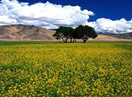 漫山遍野的油菜花图片