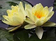水中的两株莲花超清图片