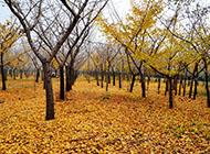 秋天唯美金黄银杏树图片