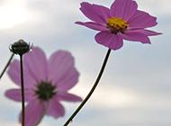 向阳的紫色格桑花意境图片