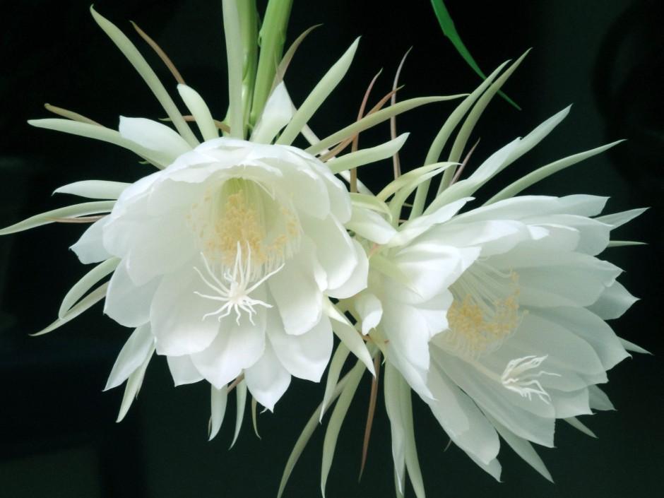 曇花白色花瓣精美寫真圖片