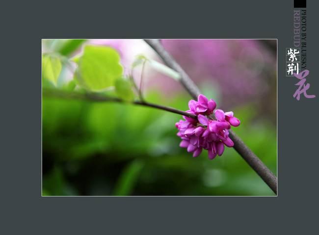艳丽可爱的紫荆花图片