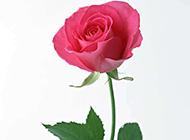 粉紅玫瑰花浪漫唯美圖片