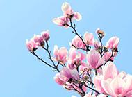 枝头上粉色的玉兰花图片