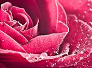 娇艳的红玫瑰高清图片