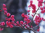 冬季唯美红梅花摄影图片作品