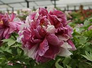 花棚内种植的牡丹花图片