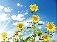 唯美向日葵背景图片素材分享