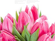 清秀高雅的粉色郁金香花束图片