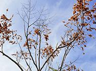 北方栾树枯枝黄叶图片