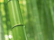 清雅脱俗的绿色竹子图片