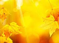 ppt黄色枫叶背景图精美个性