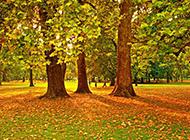 唯美的秋季枫树林高清图片