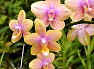 静物唯美鲜花水养蝴蝶兰图片高清摄影