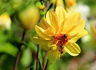 盛放的黄色花朵摄影图片