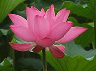 水中粉色荷花图片背景素材