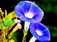 两朵紫红色喇叭花图片绽放笑脸
