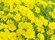 唯美的野菊花图片赏析