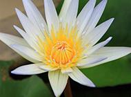 美丽圣洁的观音莲花图片