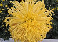 绽放的黄色菊花特写图片