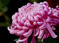 优雅野菊花植物图片高清摄影壁纸