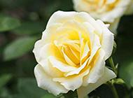 婀娜多姿的唯美黄玫瑰图片赏析