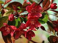 红色海棠花图片娇艳动人