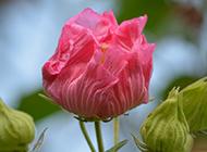 含苞待放的單瓣木芙蓉圖片