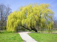 夏天柳树图片风景迷人