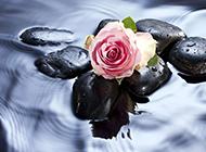 水中的粉色玫瑰图片素材