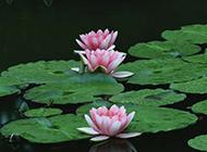 池中粉红莲花摄影图片
