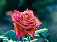 雨过天晴后的玫瑰花摄影图片
