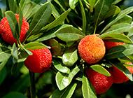 紅通通的楊梅水果圖片