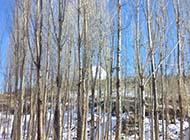 秋天的白楊樹林精美圖片