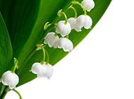 幽雅清麗的鈴蘭花圖片