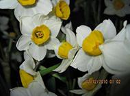 叶姿秀美的水仙花摄影图片