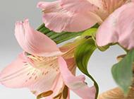 粉红百合花卉唯美图片