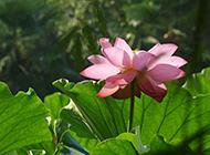 夏日池塘里的莲花高清图片