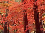 生機勃勃的紅楓樹林風景圖片