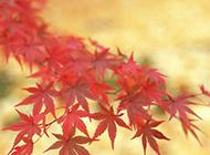 红色的枫叶特写图片