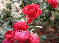 含苞待放的红玫瑰摄影图片