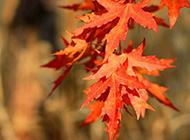 秋天红色枫叶图片特写