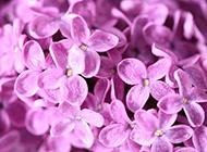 淡紫色的5瓣丁香花图片